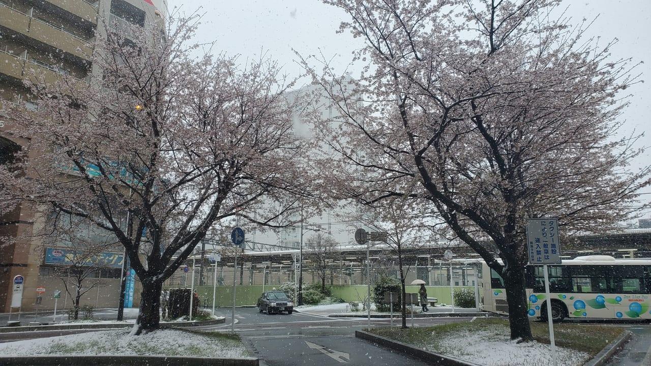 我孫子駅北口の桜に積雪