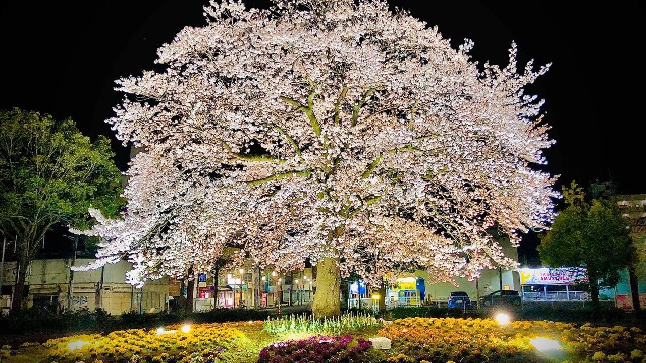 湖北駅南口ロータリーのライトアップされた桜